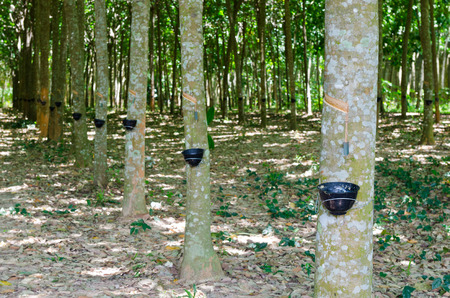 tapping: Tapping latex from a rubber tree at Thailand Stock Photo