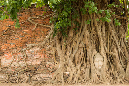 Stone head of Buddha nestled in the embrace of bodhi trees roots at Wat Mahathat, Ayutthaya Province, Thailand