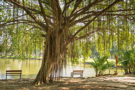 chair garden: Big Banyan Tree and the chair