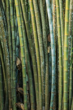 bambu: Cierre de gran bosque de bambú fresca de color verde en el bosque de Tailandia