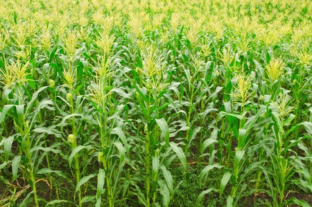corn rows: A green field of corn growing up at Thailand