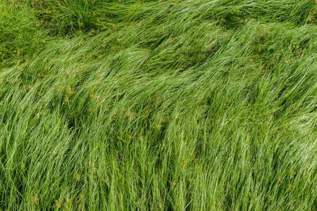 peaceful background: Cocograss, close up beautiful green Nut grass pattern from garden Stock Photo