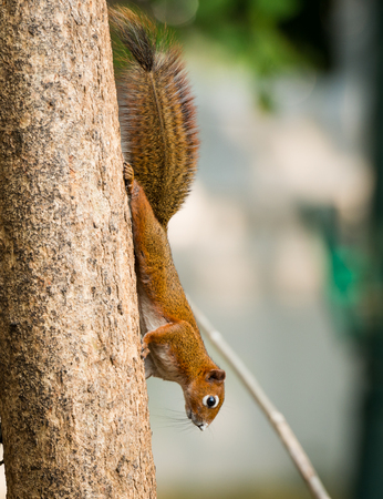 close up squirrel or small gong, Small mammals native to the tropical forests at Thailand, Variable squirrel, Pallass squirrel