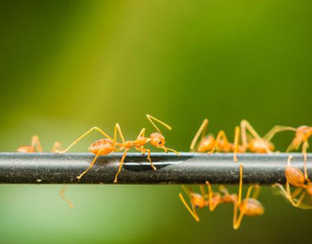 antrey: red ant walking on a black rod, Macro shot