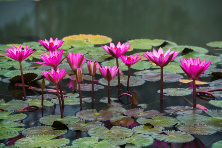 close up pink color fresh lotus blossom or water lily flower blooming on pond background, Nymphaeaceae