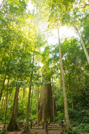 anisoptera: Biggest mersawa tree in Thailand forest at King Taksin National Park, Tak Province, Thailand, Anisoptera costata, mersawa, Krabak tree Stock Photo