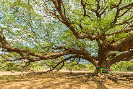 samanea saman: big Rain Tree with branch magnify Stock Photo