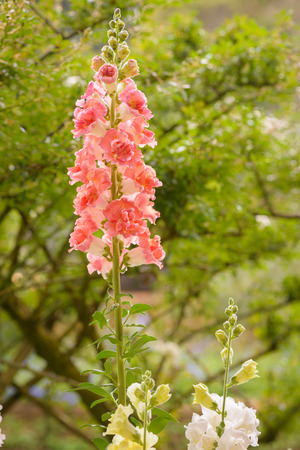 common snapdragon: Snap dragon flower (Antirrhinum majus) blooming in garden