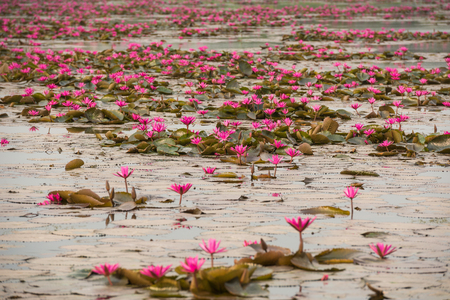 water on leaf: close up pink color fresh lotus blossom or water lily flower blooming on pond background