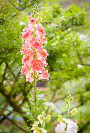snapdragon: Snap dragon flower (Antirrhinum majus) blooming in garden