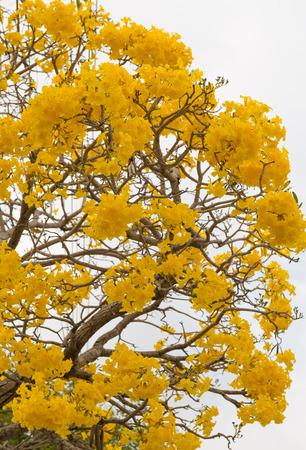 trompeta: Cerrar un árbol trompeta de plata, árbol de oro, trompeta tre plata paraguayo