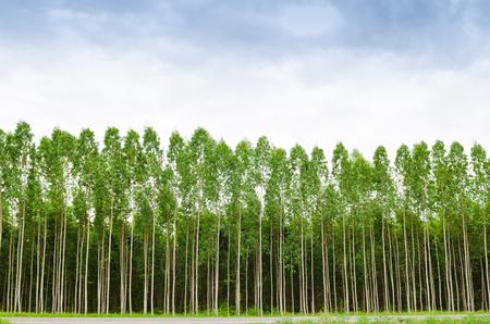 Forêt d'eucalyptus en Thaïlande, plats pour l'industrie papetière