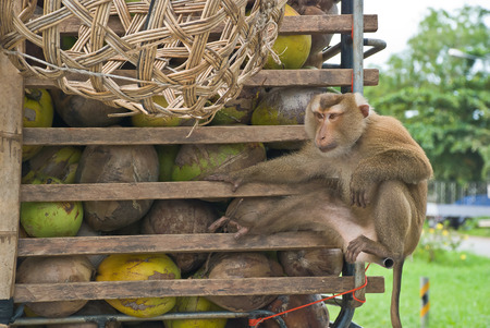 Monkey Macaque Coconut Sit In The Truck On Road.