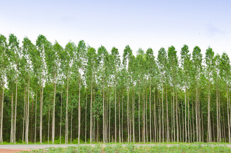 Eucalyptus forest in Thailand, plats for paper industry Фото со стока