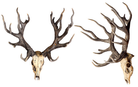 Schomburgks deer head skull isolated on white background with clipping path, Extinct animal