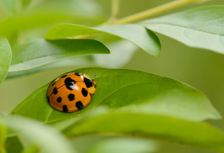 Ladybug yellow on a green leaf background, Variable Ladybird Beetles - Coelophora inaequalis Banco de Imagens