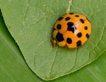 Ladybug yellow on a green leaf background, Variable Ladybird Beetles - Coelophora inaequalis 版權商用圖片