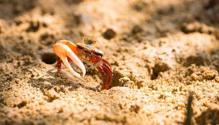 Uca vocans, Fiddler Crab walking in mangrove forest at Phuket beach, Thailand