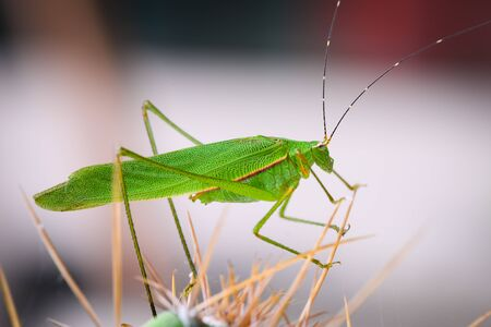 long horned grasshopper staying on the Cactus in the garden at Thailand