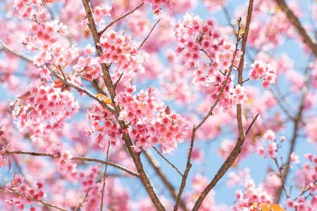 Thai Sakura flower background in winter season on tree, prunus cerasoides at Chaing mai Province, Thailand.
