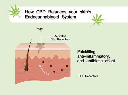 how CBD balances your skin's endocannabinoid system