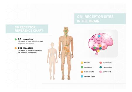 human endocannabinoid CB1 and CB2 Receptors target system active in human body,effect on body,vector infographic on white background. Illustration