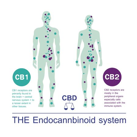 human endocannabinoid CB1 and CB2 Receptors target system active in human body. 矢量图像