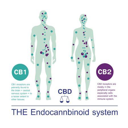 human endocannabinoid CB1 and CB2 Receptors target system active in human body. Illustration
