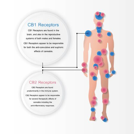 human endocannabinoid CB1 and CB2 Receptors in body,vector infographic on white background.