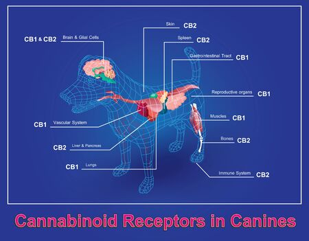 Cannabinoid receptors in Canines and CB1 and CB2 work. Illustration