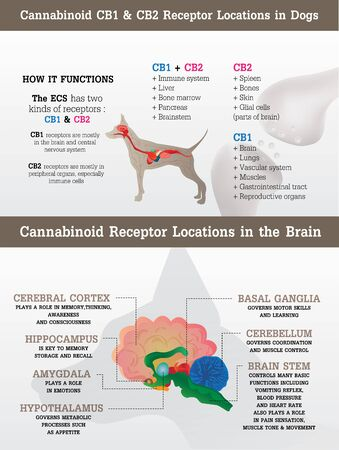 cannabinoid cb1 and cb2 receptor of dog,vector infographic on white background and poster. Illustration