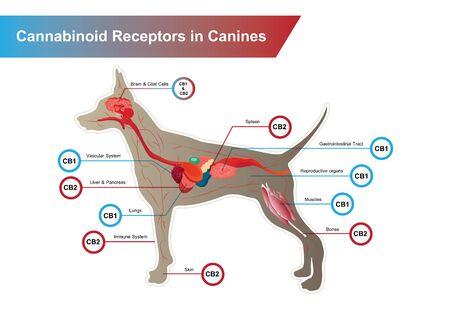 Cannabinoid receptors in Canines and CB1 and CB2 work. Illusztráció