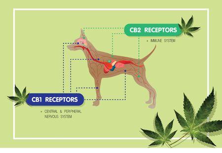hemp cbd oil medical endocannabidiol system CB1 and CB2 receptors to pet anatomy dog infographic