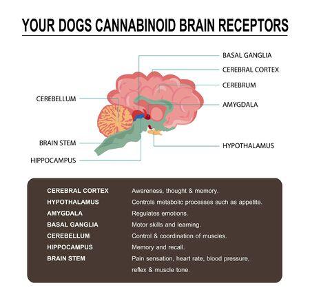 cannabinoid cb1 & cb2 receptor in the dog brain,vector infographic on white background and poster. Vektoros illusztráció