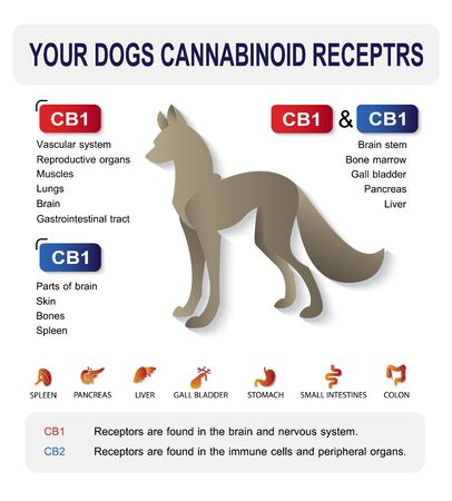 your dog cannabinoid receptors,effect on body pet,vector infographic on white background.