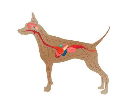 Illustration of the anatomy of a dog on white background Stock Illustratie