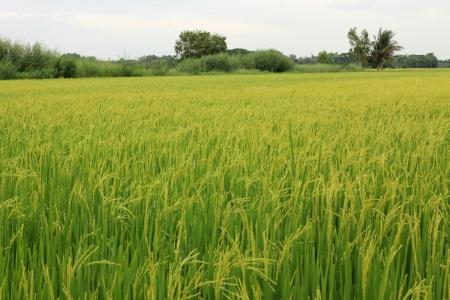 beauty farm: The beautiful landscape of rice fields in Thailand