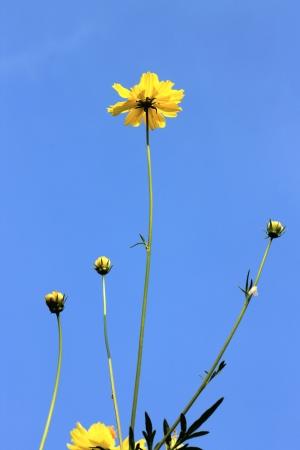 cosmos, flowers in the garden
