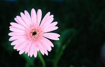 Pink Gerbera.