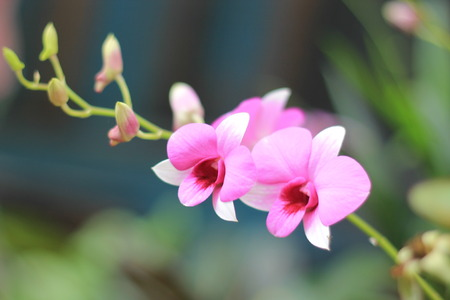 Orchid pink. Stock Photo