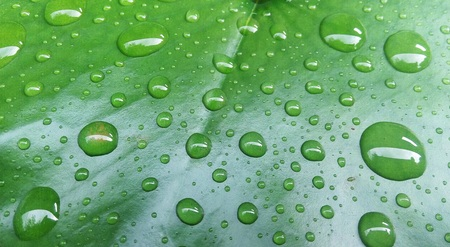 hydrophobic: Drops of water on a lotus leaf.