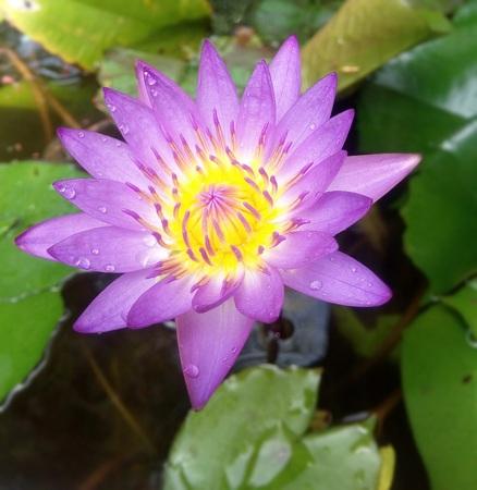 Pink lotus bloom, in a water bath.