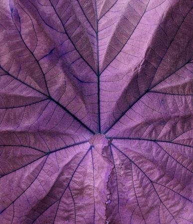 Background purple leaves