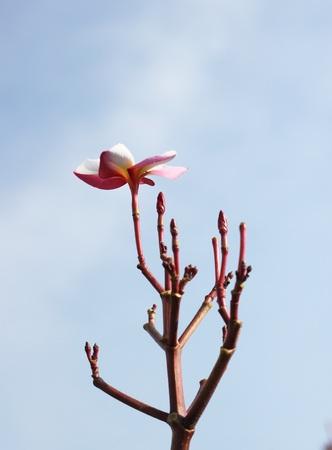 Plumeria flowers with blue sky.