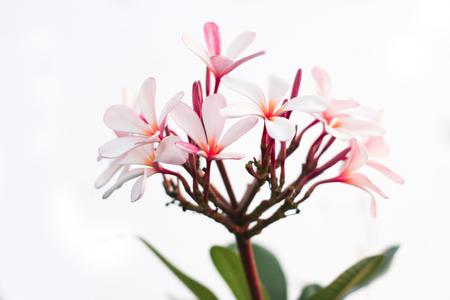 Plumeria With white background Stock Photo