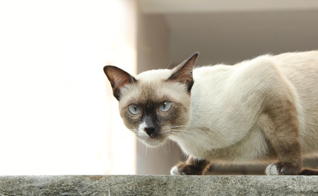siamese cat on a wall Stock Photo