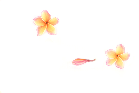 Plumeria flowers on white background.