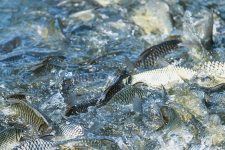 freshwater fish: Close up Fish in farm at feeding time with blur some fish and water