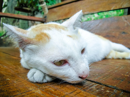 cat island: CAT in Samui Island Thailand Stock Photo