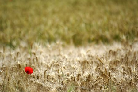 Red papaver flower in a wheat field photo
